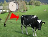 Cow and banjo
